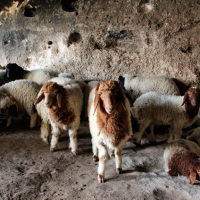 Goats stay cool a Soğmatar cave-temple with large figures and inscriptions carved in the walls.